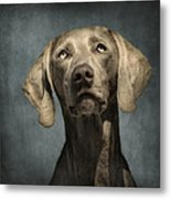 Portrait Of A Weimaraner Dog Metal Print by Wolf Shadow  Photography