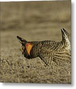 Prairie Chicken-9 Metal Print by Thomas Young