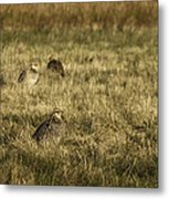 Prairie Chickens After The Boom Metal Print by Thomas Young