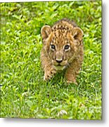 Predator In The Making Metal Print by Ashley Vincent