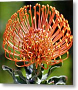Protea - One Of The Oldest Flowers On Earth Metal Print by Christine Till