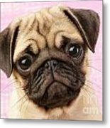 Pug Portrait Metal Print by Greg Cuddiford