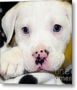 Puppy Pose With 4 Spots On Nose Metal Print by Peggy  Franz
