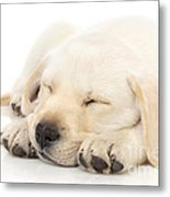 Puppy Sleeping On Paws Metal Print by Johan Swanepoel