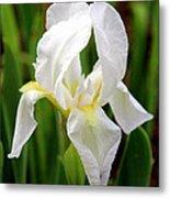 Purely White Iris Metal Print by Kathy  White
