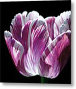 Purple And White Marbled Tulip Metal Print by Rona Black