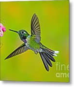 Purple-bibbed Whitetip Hummingbird Metal Print by Anthony Mercieca