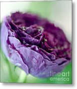 Purple Rose Metal Print by Frank Tschakert