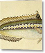 Rainbow Wrasse Metal Print by E Donovan and FC and J Rivington