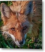 Red Fox Metal Print by Bianca Nadeau