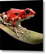 Red Strawberry Poison Dart Frog Metal Print by Dirk Ercken