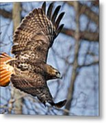 Redtail Hawk Metal Print by Bill Wakeley