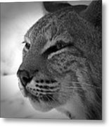 Reflecting Bobcat... Metal Print by Christena  Stephens