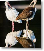 Reflection Of Two Young Ibis Metal Print by Andres Leon
