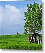 Rice Fields Metal Print by Nila Newsom