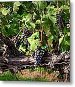 Ripening Grapes Metal Print by Carol Groenen