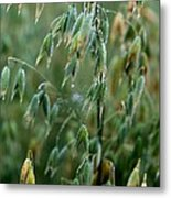 Ripening Oats Metal Print by Shirley Sirois