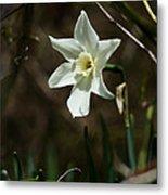 Roadside White Narcissus Metal Print by Rebecca Sherman