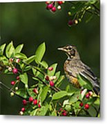 Robin And Berries Metal Print by Mircea Costina Photography