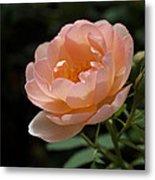 Rose Blush Metal Print by Rona Black