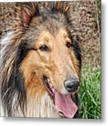 Rough Collie Metal Print by Kenny Francis