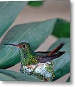 Rufous-tailed Hummingbird On Nest Metal Print by Gregory G Dimijian MD