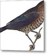 Rusty Blackbird  Metal Print by Anonymous