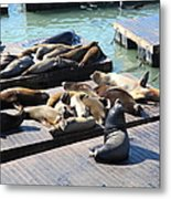 San Francisco Pier 39 Sea Lions 5d26113 Metal Print by Wingsdomain Art and Photography