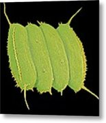 Scenedesmus Algae, Sem Metal Print by Science Photo Library