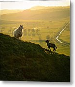 Scottish Sheep And Lamb Metal Print by Mr Doomits