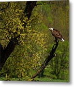 Screaming Eagle Metal Print by Thomas Young