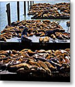 Sea Lions At Pier 39  Metal Print by Garry Gay