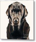 Serious Chocolate Labrador Metal Print by Justin Paget