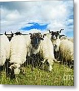 Sheep In The Field Metal Print by Jelena Jovanovic