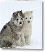Siberian Husky Puppies Metal Print by M. Watson