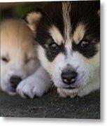 Siberian Husky Pups Metal Print by Benita Walker