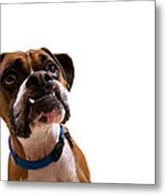 Silly Boxer Dog Metal Print by Stephanie McDowell