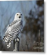 Sitting On The Fence- Snowy Owl Perched Metal Print by Inspired Nature Photography Fine Art Photography