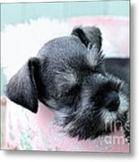Sleeping Mini Schnauzer Metal Print by Stephanie Frey