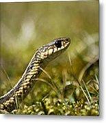 Snake Encounter Close-up Metal Print by Christina Rollo