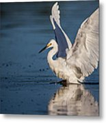 Snowy Egret Frolicking In The Water Metal Print by Andres Leon