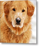 Snowy Golden Retriever Metal Print by Christina Rollo
