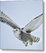 Snowy Owl In Flight Metal Print by Everet Regal