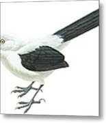 Southern Pied Babbler  Metal Print by Anonymous