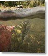 Spawned Out Sockeye Salmon In Quartz Metal Print by Scott Dickerson