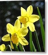 Spring Floral Art Prints Glowing Daffodils Flowers Metal Print by Baslee Troutman