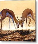 Springbok Dual In Dust Metal Print by Johan Swanepoel