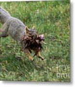 Squirrel Nest Bulding Metal Print by Robert Bales