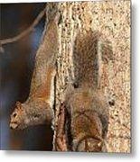 Squirrels Metal Print by Eric Abernethy