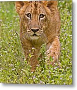 Stalking Practice Metal Print by Ashley Vincent